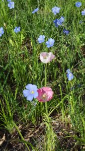 Poppies and flax May 7